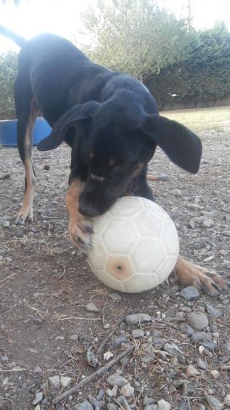 FALCO (chien croisé border) Pa178416