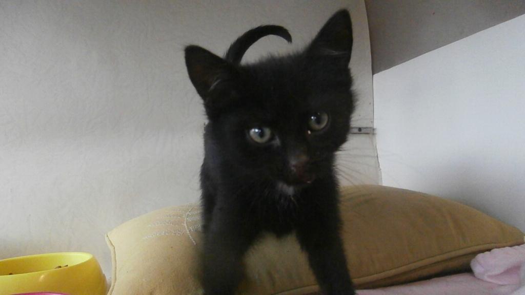 CONCOMBRE (chaton noir) Pb028910