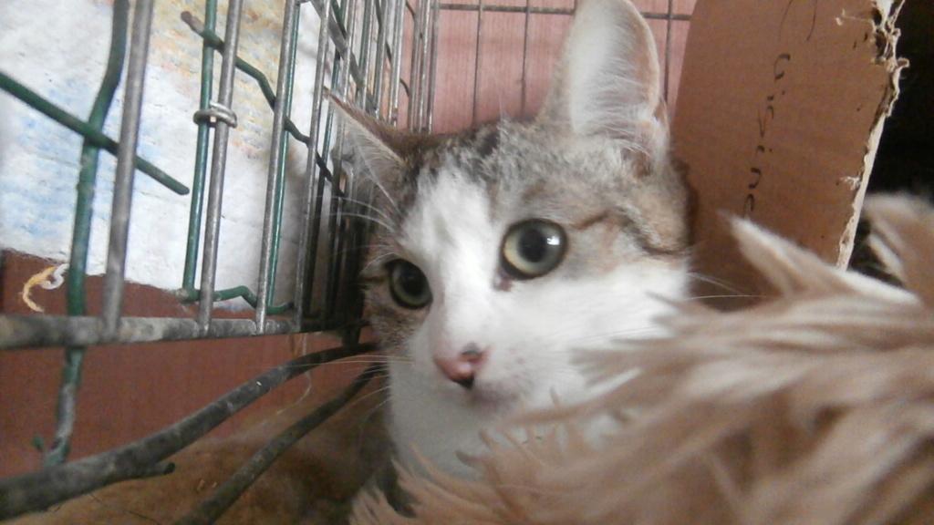 ARTICHAUT (chaton tigré et blanc) Pb028913
