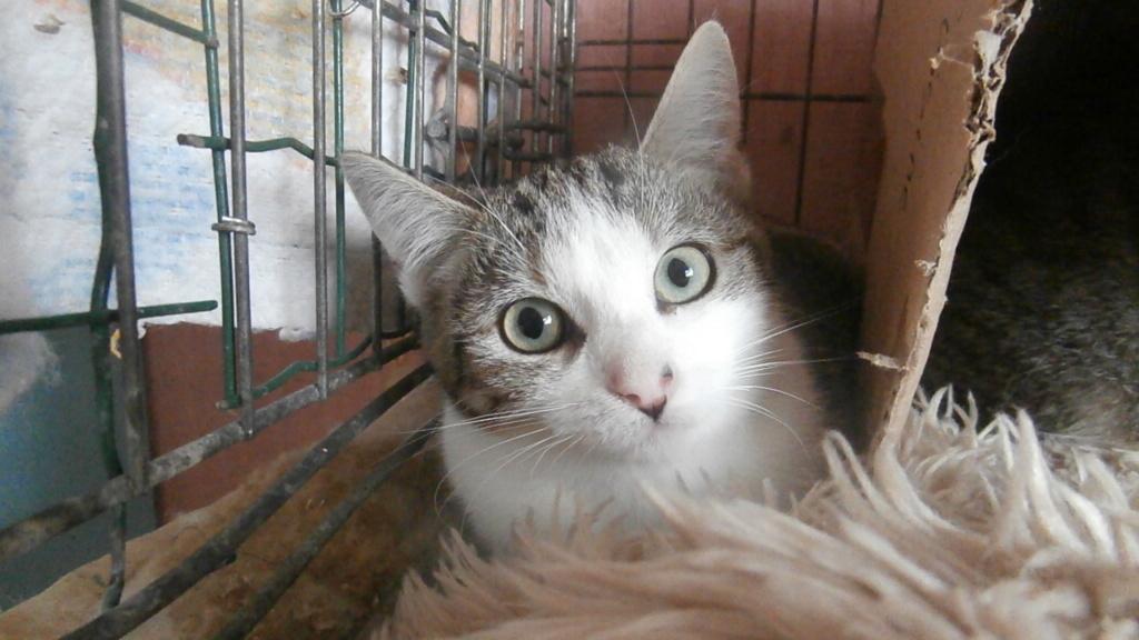 ARTICHAUT (chaton tigré et blanc) Pb028914