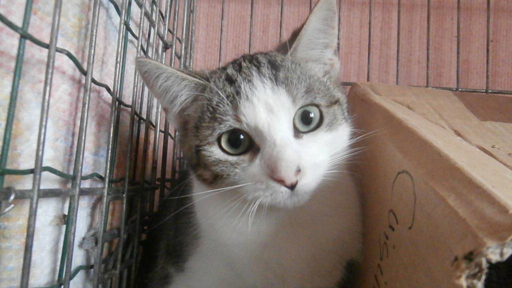 ARTICHAUT (chaton tigré et blanc) Pb028915