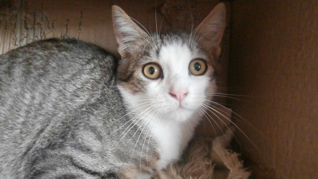 ARTICHAUT (chaton tigré et blanc) Pb028916