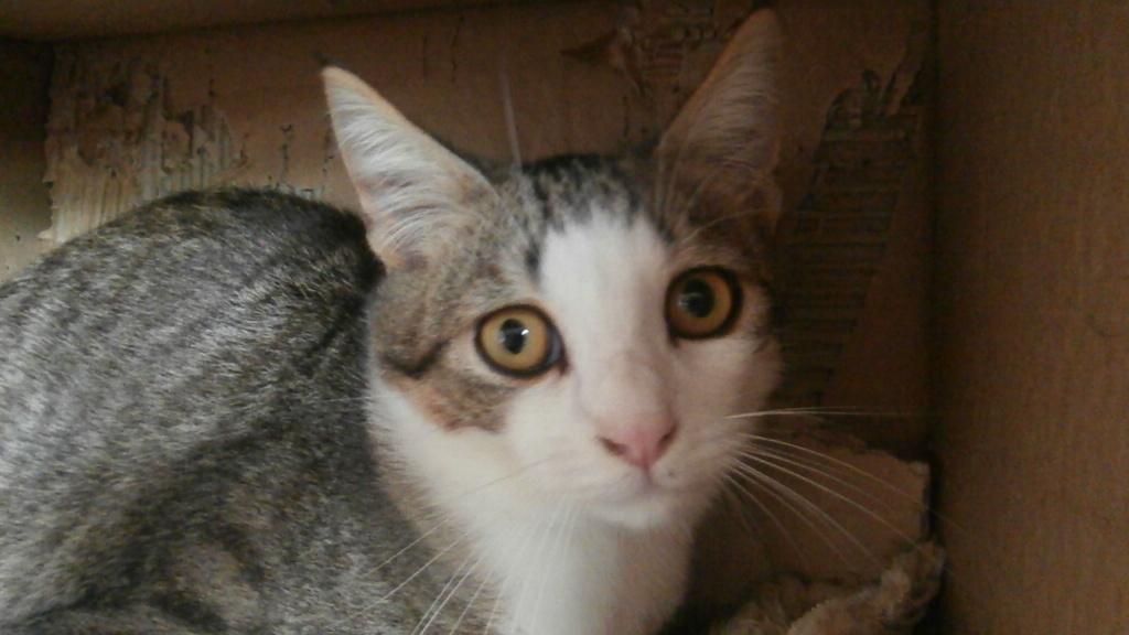 ARTICHAUT (chaton tigré et blanc) Pb028917
