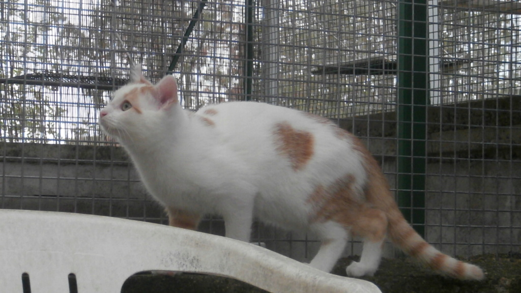 LIMBO (Chaton roux blanc) Pb028926