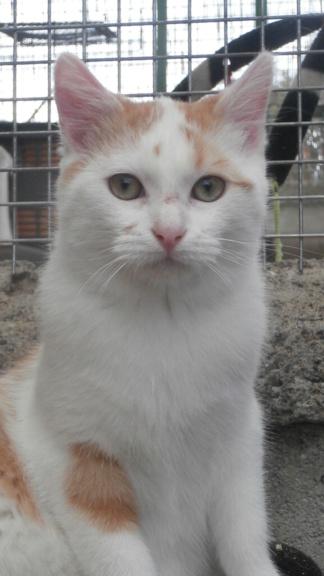 LIMBO (Chaton roux blanc) Pb028928