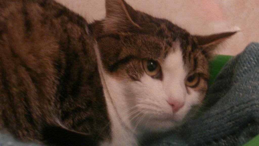 VENUS (chaton femelle tigrée et blanche) Pc148925
