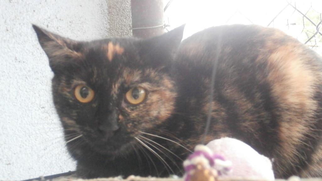 SOUCIS (chaton écaille de tortue) Pc158622