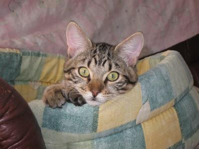 Polka  (chat européen tigre et blanc) Thumbn13