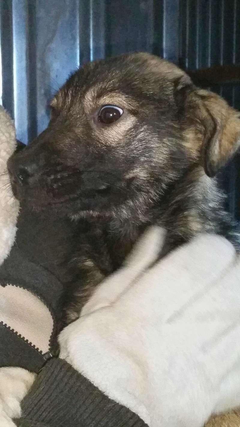 SIOUX - mâle croisé de taille petite à moyenne adulte , né env octobre 2016 (Vaslui) - adopté par Rémi (Belgique) 16130111