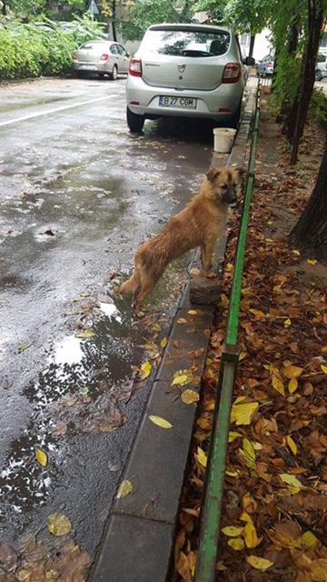 FOXY - femelle croisée de petite taille, née mars 2016 - (Bucarest) CARMINA - réservée adoption par Virginie (Belgique) DCD Foxy1010