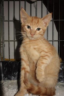 GINGER (Marley) - chat mâle né en septembre 2016 - CARMINA BUCAREST. Réservé adoption via une autre asso Ginger10