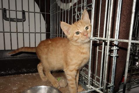 GINGER (Marley) - chat mâle né en septembre 2016 - CARMINA BUCAREST. Réservé adoption via une autre asso Ginger11