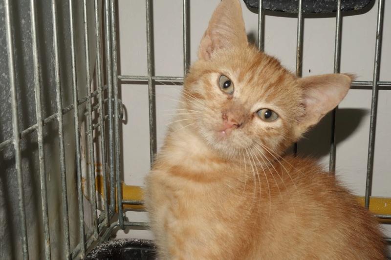 GINGER (Marley) - chat mâle né en septembre 2016 - CARMINA BUCAREST. Réservé adoption via une autre asso Ginger15