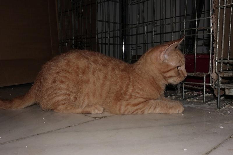 GINGER (Marley) - chat mâle né en septembre 2016 - CARMINA BUCAREST. Réservé adoption via une autre asso Ginger18