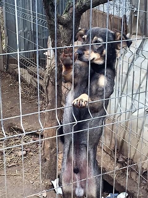HERMES !! + de 3 ans de box !! mâle croisé de taille moyenne, né février 2015 - (CARMINA BUCAREST) Img_9111