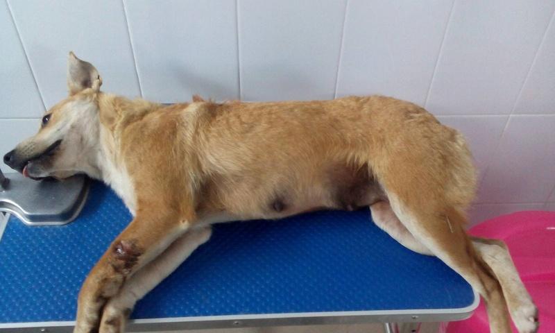MAIKA - chienne croisée de taille moyenne, née 2015 - (Pascani) REMEMBER ME LAND Mailka10