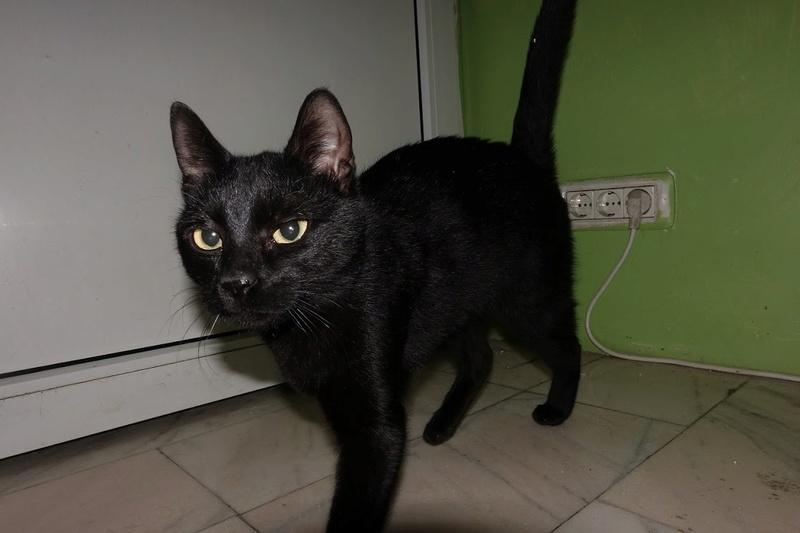 SERENA (Gato Nero) - chat femelle née en juin 2016 - CARMINA BUCAREST.  Réservée adoption via une autre asso Serena10