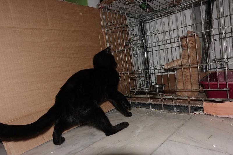SERENA (Gato Nero) - chat femelle née en juin 2016 - CARMINA BUCAREST.  Réservée adoption via une autre asso Serena18