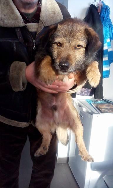 YODA - chien croisé fox mâle de taille petite né en 2016 - (Pascani) REMEMBER ME LAND- adopté par Leo (Belgique) Yoda10