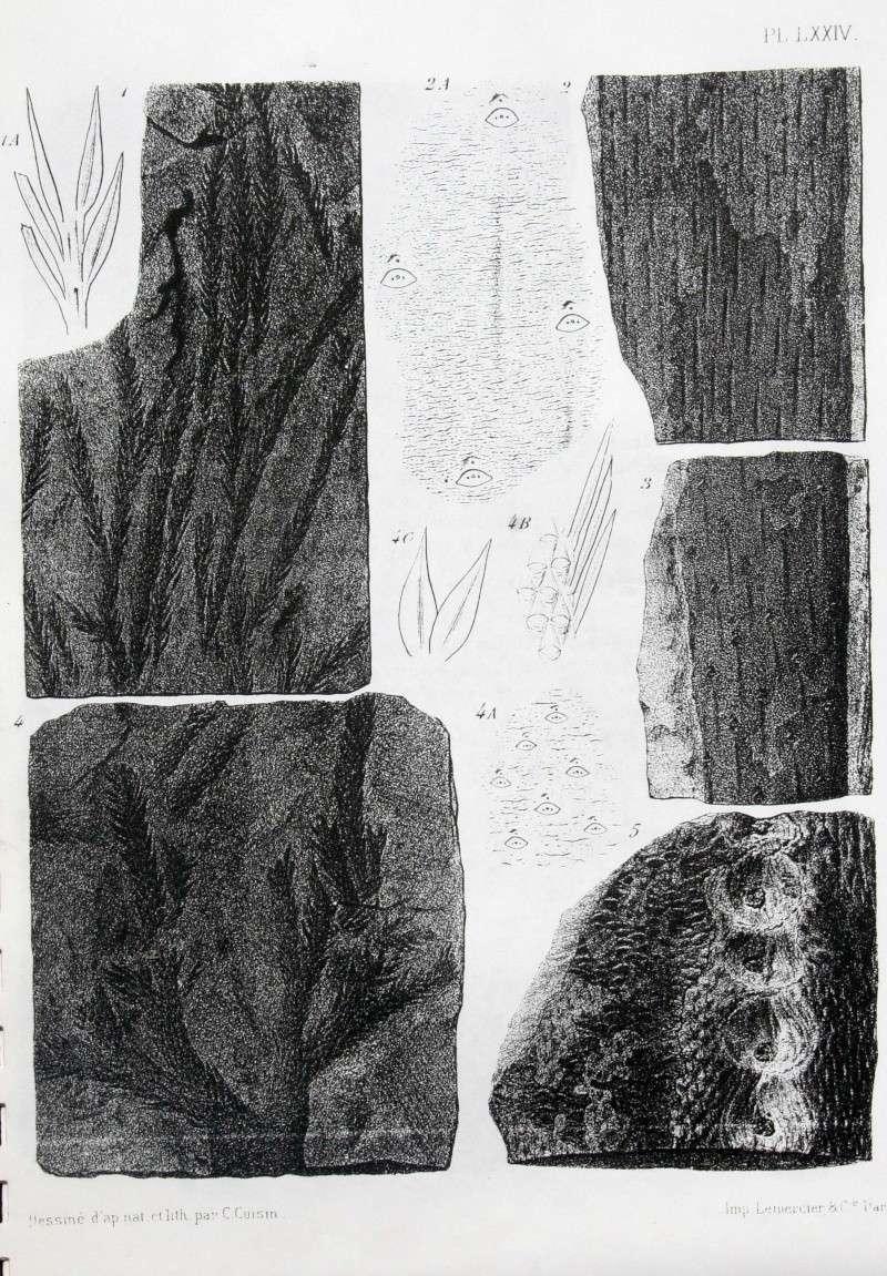 Bothrodendron Lindley et Hutton ,1833. 00110