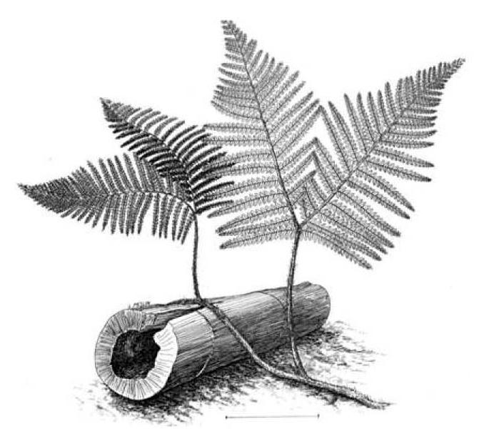 Dicksonites Sterzel , 1881. 103-210