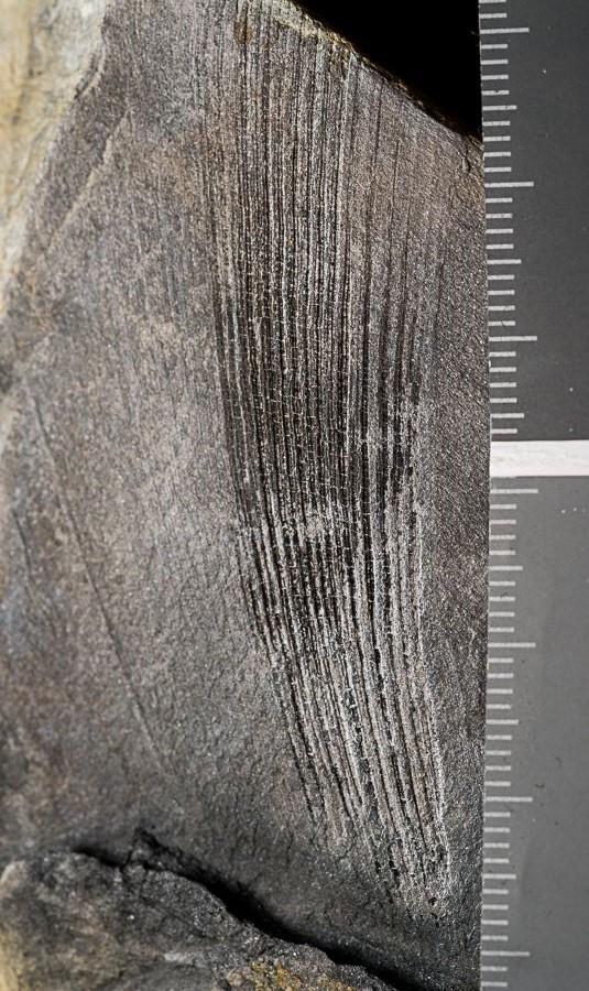 Flore Carbonifère des Alpes Françaises part 1 - Page 5 _c270010