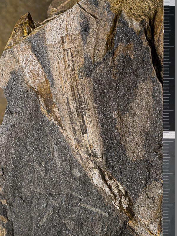 Flore Carbonifère des Alpes Françaises part 1 - Page 5 _c270011