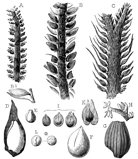 Flore Carbonifère des Alpes Françaises part 1 - Page 5 Fig5910
