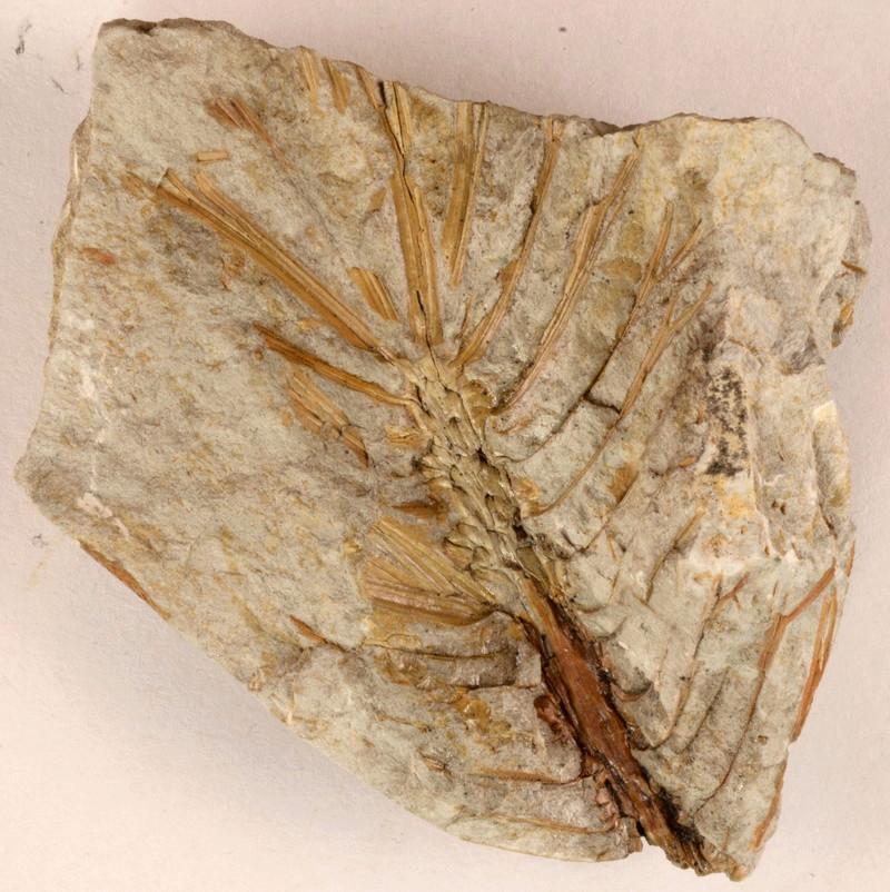 Flore Carbonifère des Alpes Françaises part 1 - Page 5 N3286810