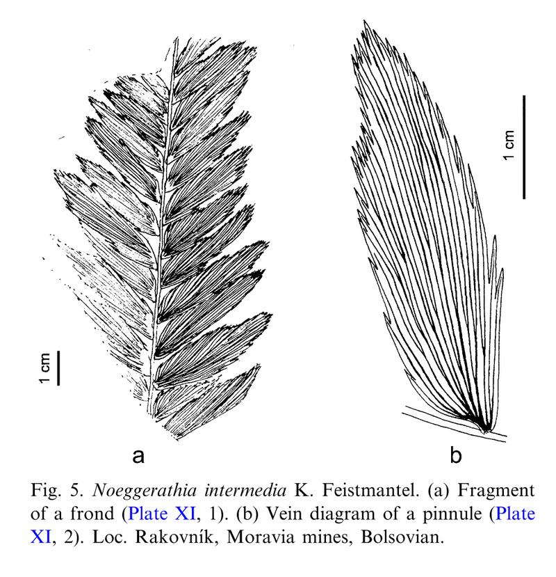 Flore Carbonifère des Alpes Françaises part 1 - Page 5 Noegge10