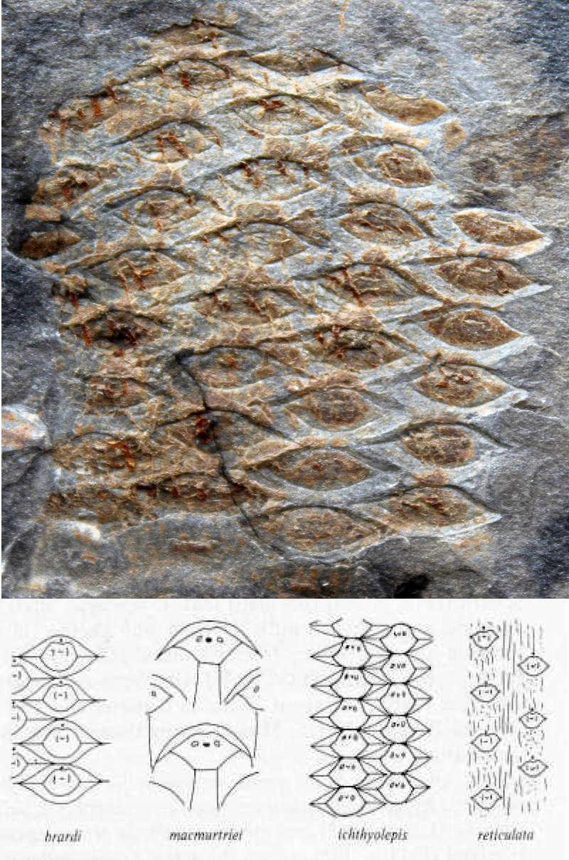 Flore Carbonifère des Alpes Françaises part 1 - Page 5 Sigill10