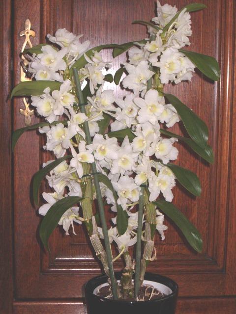 orchid u00e9e bambou