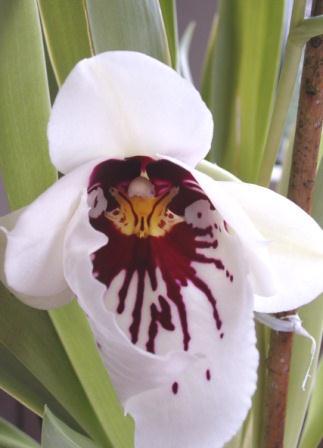 MILTONIA Orchid11