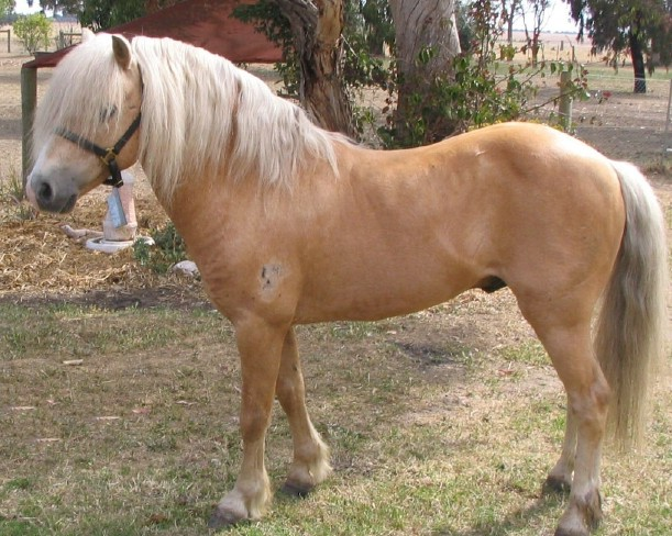 Welsh A Palomino Stallion Gallia11
