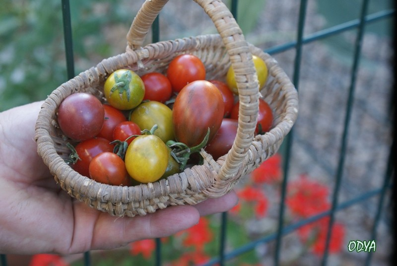 tomates et cie 2010_022