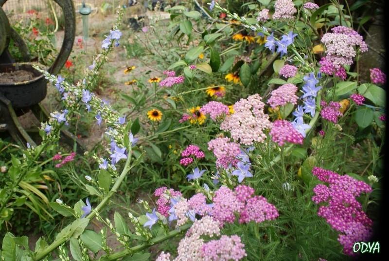 Association de plantes dans vos massifs  2010_a15