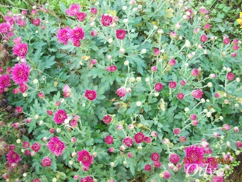 Chrysanthèmes  2012_125