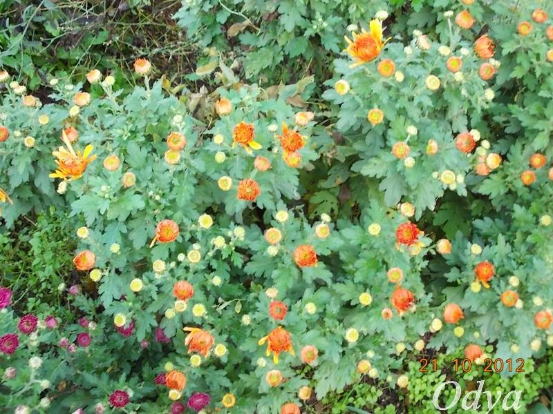 Chrysanthèmes  2012_126