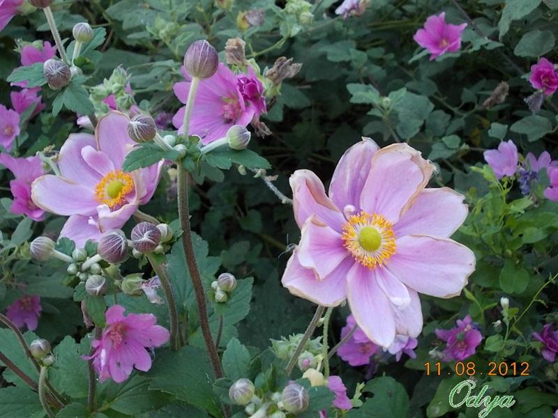 anemones du japon  - Page 2 2012_a37