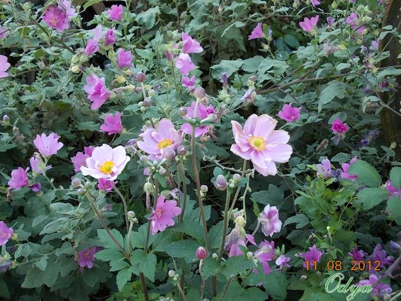 anemones du japon  - Page 2 2012_a38