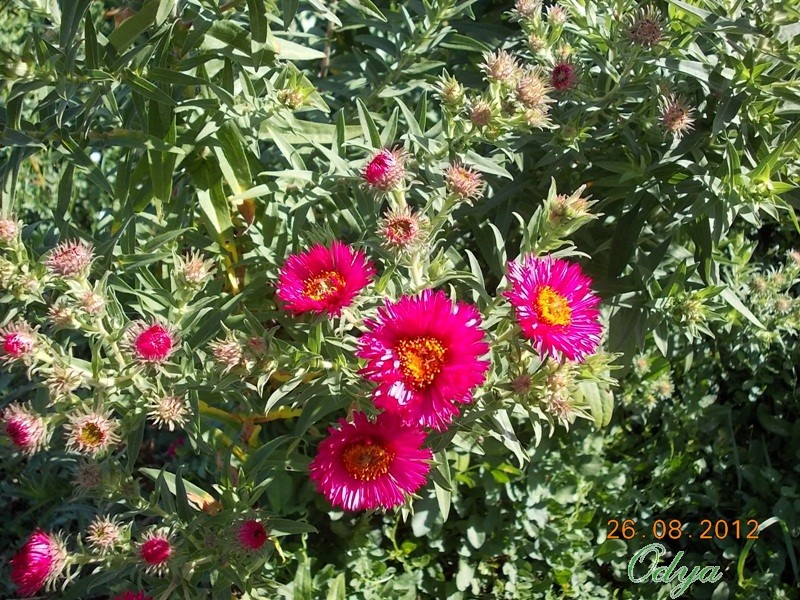 Aster d'automne  - Page 2 2012_a62