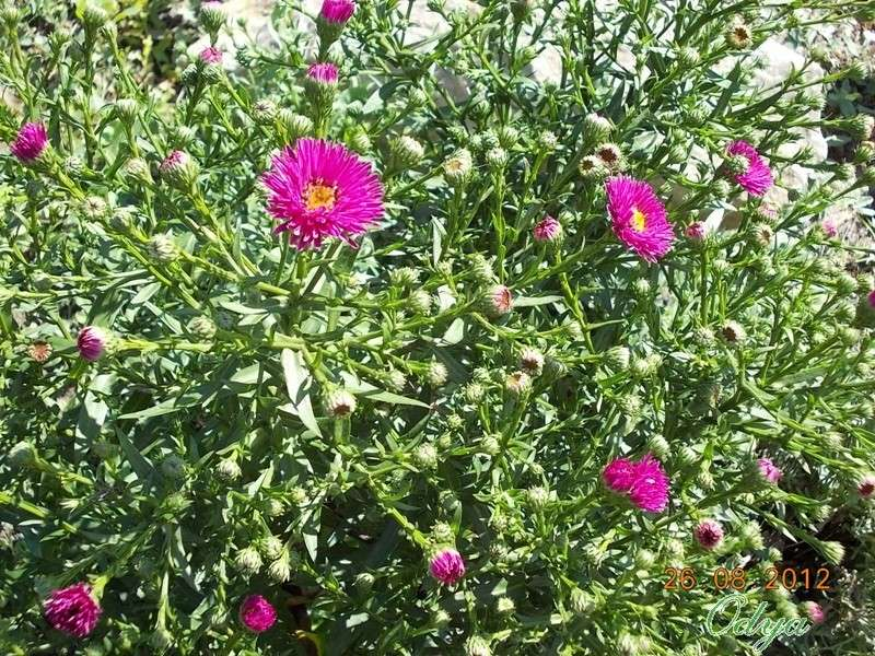 Aster d'automne  - Page 2 2012_a63