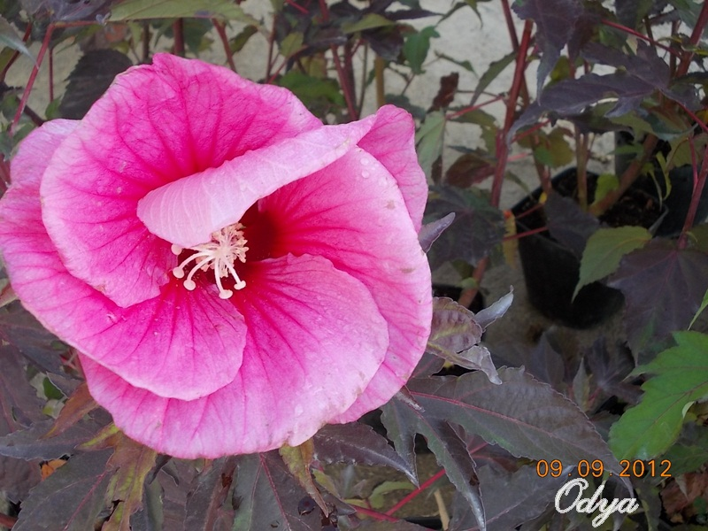 Hibiscus - Page 3 2012_b10