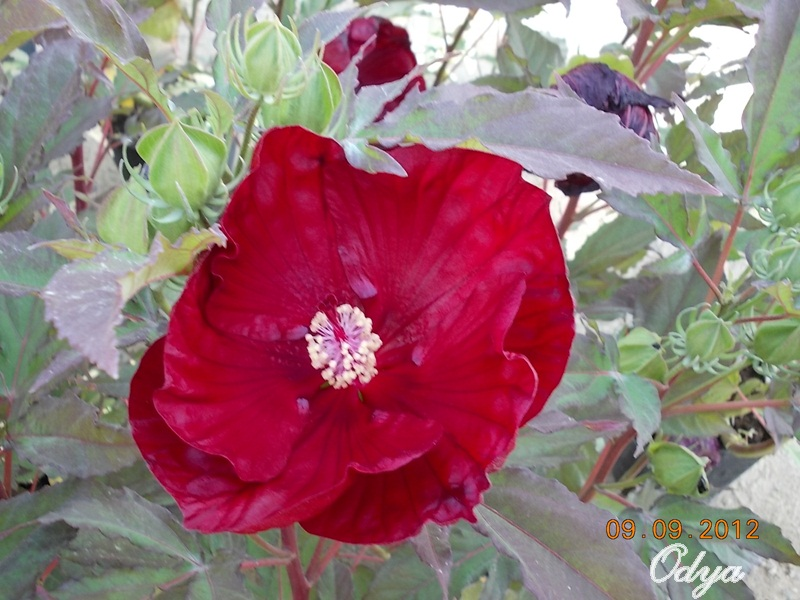 Hibiscus - Page 3 2012_b12