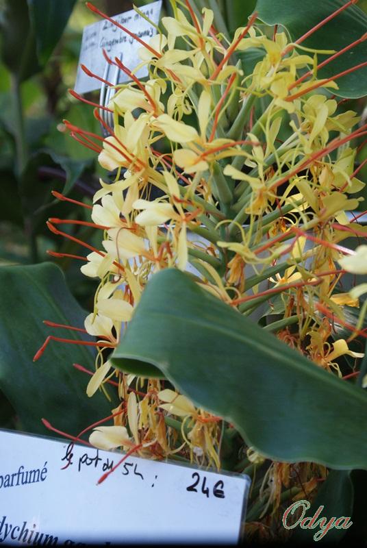 Hedychium  - Gingembre d'ornement  2012_b54