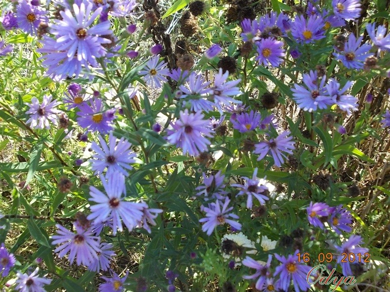 Aster d'automne  - Page 6 2012_j15