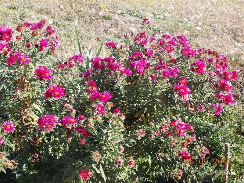 Aster d'automne  - Page 6 2012_j22