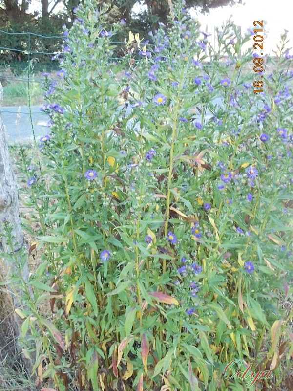 Aster d'automne  - Page 6 2012_j24