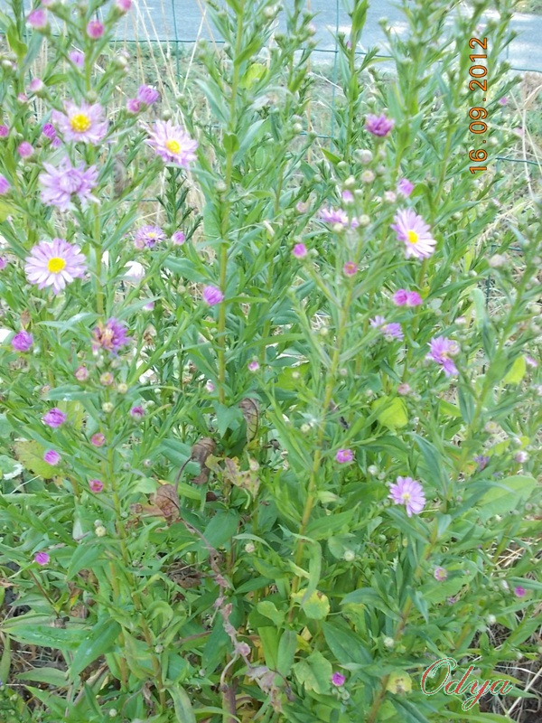 Aster d'automne  - Page 6 2012_j25