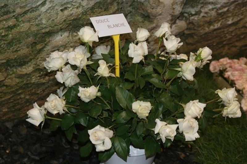 Les Journées de la rose (49 Doué la Fontaine) Copie_35